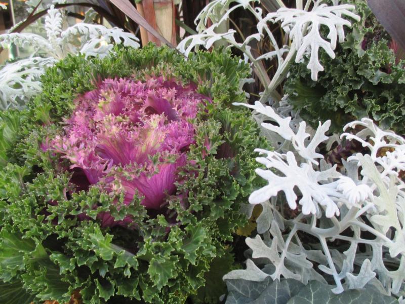 Suzetteroberts - so much cabbage - 10 14 16 (6)
