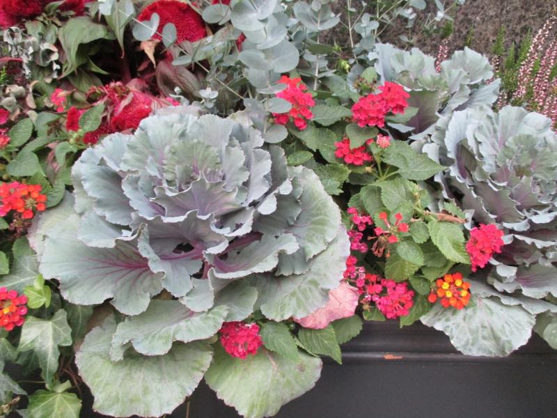 Suzetteroberts - so much cabbage - 10 14 16 (2)
