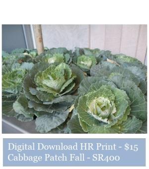 Suzetteroberts - suzette's print shop - cabbage patch fall - SR400