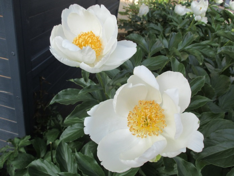 Suzetteroberts - personal - 04 2020 - remembering dad - beautiful blooms